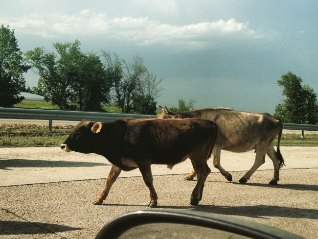 photo of cows on a highway taken from a car